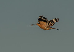 Hoopoe delivering REAKFAST (143latorre) Tags: birds nightheron parquenaturaldelomonte purpleheron spainmay2019 squaccoheron