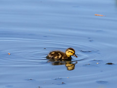 Little duck chick swimming (a_ey) Tags: surface duck cute nature water little duckchick lake background pond fluffy blue swimming black nestling chick yellow