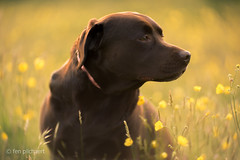 lizzy - a heart of gold (fen pilchaert) Tags: ko140m projectorlens manualfocus labrador goldenhour