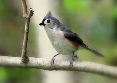 IMG_5353 Mésange bicolore (Marie-Helene Levesque) Tags: oiseau lexington mésange mésangebicolore mariehélène mariehelene
