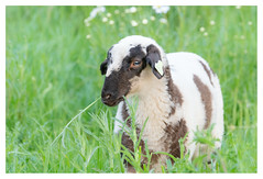 The sweetness of the lambs (leo.roos) Tags: bokeh lamb lam sheep schaap spring lente westerhonk westland monster a7iii sonyfe100400mmf4556gmoss sel100400gm sonyfe1004004556 sonyfe14xteleconverter sel14tc darosa leoroos