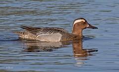 IMG_5676 Garganey (Dennis Swaby) Tags: bird duck wildfowl garganey