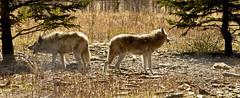 wolfdogs (Feng Sheng) Tags: yamuska wolfdog sanctuary wolfdogs