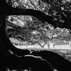 Sydney (Bill Thoo) Tags: balmoralbeach sydney nsw newsouthwales australia tree dark branches roots fig figtree beach monochrome bow blackandwhite blackandwhitefilm blackandwhitefilmphotography film filmphotography filmcamera analog analogphotography analogue analoguephotography mediumformat mediumformatcamera mediumformatfilm mediumformatfilmcamera mediumformatfilmphotography 6x6 50mm 504 hasselblad 500cm hasselblad500cm 120 zeiss jch streetpan jchstreetpan jchstreetpan400 streetpan400