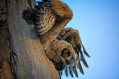 Ready to fly (Gaby Swanson, Photographer) Tags: outdoors ohiowildlife owlet owl nature naturephotographer naturephotography wildlife wildlifephotography birds birdsofprey mageemarshwildlifearea ottawawildliferefuge