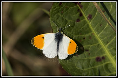 IMG_0086 Orange-tip Butterfly (Scotchjohnnie) Tags: orangetipbutterfly orangetip butterfly insect nature naturephotography canon canoneos canon7dmkii canonef100400f4556lisiiusm scotchjohnnie