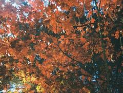 Autumn leaves (2) (Matthew Paul Argall) Tags: revuepocket10 fixedfocus 110 110film subminiaturefilm lomographyfilm 200isofilm plasticlens autumn autumnleaves