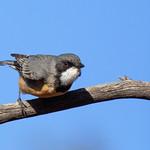 Pachycephalidae - Rufous Whistler thumbnail