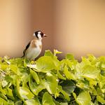 Chardonneret élégant - Goldfinch thumbnail