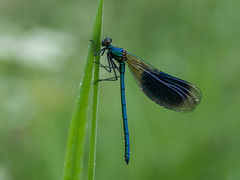 Calopteryx splendens - banded demoisell (de_frakke) Tags: weidebeekjuffer natuur demer zichembe male macro insect morgen morning