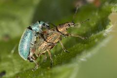 Snuitkevers - Hancate, Hellendoorn (mariandeneijs) Tags: curculionoidea snuitkever snuitkevers kever insect hancate hellendoorn deregge hankate benedenregge vistrap