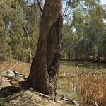 Canoe Tree on the Edwards River near Mathoura, NSW thumbnail