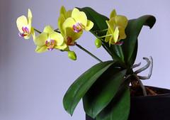 L1340232 Phalaenopsis (Rise Liao) Tags: 花 葉子