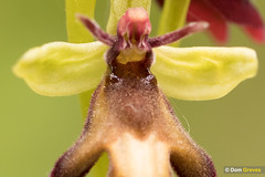 Fly orchid pollination II (Dom Greves) Tags: flora flower flyorchid grassland may ophrysinsectifera orchid spring surrey uk wildflower wildlife woodland