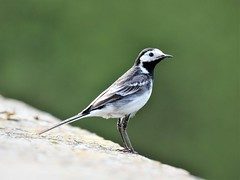 Pied Wagtail (doranstacey) Tags: nature wildlife birds piedwagtail pied wagtail ulley countrypark tamron 150600mm nikon d5300