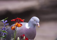 (Girl With Butterfly Wings) Tags: pigeon beautiful bird nature garden flowers spring springtime