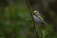 Golden-Winged Warbler (grobinette) Tags: warbler neotropical goldenwingedwarbler easternpa sabrewingnaturetoursdelawarestateforest