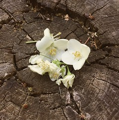 Flowers on Wood (Nebelang) Tags: instagram instagramapp vsco flores blancas white flowers tocon arbol tree stump madera wood