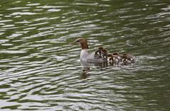 Goosander family (themadbirdlady) Tags: anseriformes anatidae mergusmerganser goosander riveralmond edinburghairport