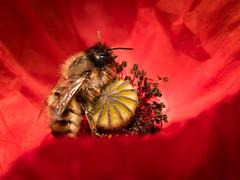 Bee in Poppy (holgerreinert) Tags: bee insect poppy flower bloom macro macromonday