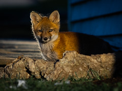 Baby Fox Gone Nuclear (aT0Mx) Tags: baby fox kit pup orange spring morning play brighton ontario canada vulpes pentax pentaxart pentaxlens pentaxphotography nature naturephotography