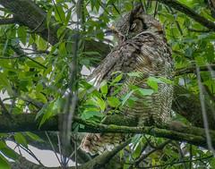 Great Horned Owl (jerryherman1) Tags: ephertapennsylvania greathornedowl nature nikond500 nikor200500f56 owl wildlife