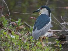 Bihoreau gris/Grey night heron-_PM24929 (michel paquin2011) Tags: rouge bihoreau gris parc angrignon échassier grand