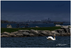 MAY 2019 NGM_1565_8149-1-2-222 (Nick and Karen Munroe) Tags: ridgetown portcredit lake lakeshore lakefront lakeontario lakeshoreblvd lakeside swans swan whiteswan bird water waves toronto torontoskyline shipwreck ship breakwall jackdarlingpark jackdarling mississauga waterscape seascapes karenick23 karenick karenandnickmunroe karenandnick munroe karenmunroe karen nickandkaren nickandkarenmunroe nick nickmunroe munroenick munroedesigns photography munroephotoghrpahy munroedesignsphotography nature landscape brampton bramptonontario ontario ontariocanada outdoors canada d750 nikond750 nikon colour colours color colors nikon2470f28 2470 2470f28 nikon2470 nikonf28 f28