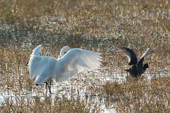 Shadow play (NA.dir) Tags: keoladeo national park bharatpur india bird sanctuary birds migratory sony rx103 rx10mk3 rx10m3