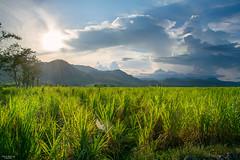 Cane fields in Bais (vincent.lecolley) Tags: asia philippines bais negrosoriental landscape canefields world traveil roadtrip d3300 culture monoculture agriculture farm fields