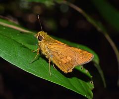 Orange palm dart (Cephrenes augiades) (SteveInLeighton's Photos) Tags: 2019 nikond3300 april australia queensland wildlife fitzroyisland butterflies butterfly insect lepidoptera rainforest skipper cephrenesaugiades