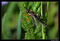 Dioctria rufipes (cquintin) Tags: arthropoda diptera asilidae dioctria rufipes macroinsectes