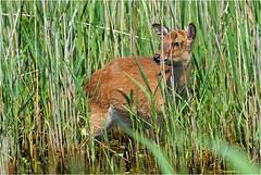 Sika Deer (acadia_breeze4130) Tags: virginia chincoteague national nationalwildliferefuge wildliferefuge wildlife nature naturephotography outside deer sika grazing grass may assateagueisland eos 100400mm karencarlson