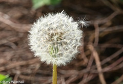 Hard to let go (Katy Wrathall) Tags: garden spring england eastyorkshire dandelion 2019pad may eastriding 2019