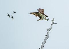 Osprey -perch (shottwokill) Tags: bolsachica marsh california morning birds osprey wetlands overcast perch nikon d5 200500 nikkor cropped nature bolsachicaecologicalreserve flight talons handheld200500