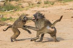 Chacma Baboon (Gerhard Theron) Tags: animals baboonsmonkeyscercopithecidae capebaboon chacmababoon kaapsebobbejaan kwazulunatal mammals mhkuzegamereserve papioursinus primatesprimates southafrica vertebrates kumasingahide stluciapark