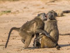 Chacma Baboon (Gerhard Theron) Tags: animals baboonsmonkeyscercopithecidae capebaboon chacmababoon kaapsebobbejaan kwazulunatal mammals mhkuzegamereserve papioursinus primatesprimates southafrica vertebrates kumasingahide medium2100px stluciapark