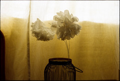 Still life (nicolasmathieudosiere) Tags: analog film vitagecamera oldcamera ishootfilm minolta 50mm17 dynax indoor home flowers filmisnotdead kodak still life 35mm slr
