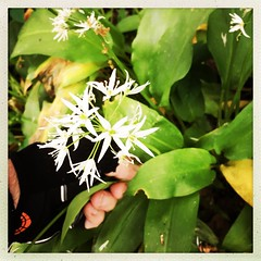 Day 139 - Foraging (Menage a Moi) Tags: 365days wildgarlic leaves foraging foodforfree