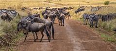 KENYAN WILDEBEEST: GREAT MIGRATION (John C. Bruckman @ Innereye Photography) Tags: kenya maasaimaraconservancy wildebeest greatmigration serengeti grasslands thomsonsgazelles impala zebras rain coth5