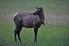 Elk_II (NC Mountain Man) Tags: cataloocheevalley nikon d3400 phixe ncmountainman youngbullelk elk grass field dof lowresolutionversion