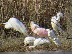 Roseate Spoonbills - Texas by SpeedyJR (SpeedyJR) Tags: ©2019janicerodriguez anahuacnwr chamberscountytx roseatespoonbills spoonbills birds wildlife nature nwr chamberscountytexas texas speedyjr