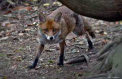 Red Fox (Vupes vulpes) - Buckinghamshire (Alan Woodgate) Tags: eyecontact wild fox red
