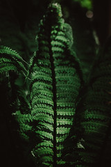 jurassic park   l   2019 (weddelbrooklyn) Tags: natur pflanze pflanzen grün garten 50mm nikon d5200 lichtundschatten licht schatten farn nature plant plants green garden light shadows fern jungle urwald hamburgerfotofreaks