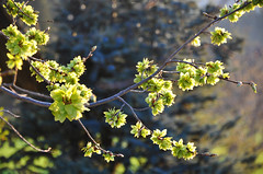 Ulmenblüten (Mariandl48) Tags: ulmenblüten sommersgut wenigzell steiermark austria