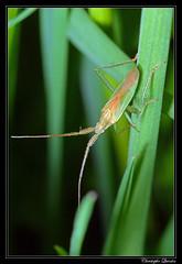 Stenodema laevigata (cquintin) Tags: arthropoda heteroptera miridae stenodema laevigata macroinsectes