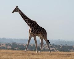Reticulated Giraffe (Mark Vukovich) Tags: reticulated giraffe mammal kenya wildlife