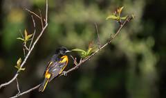 Oriole on a branch (rmikulec) Tags: oriole baltimore animal bird birds nature wild wildlife sony 100400gm a7riii