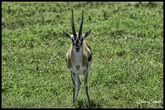 Thomson's Gizelle (SpacePaparazzi.com) Tags: tanzania africa southeastafrica safari seringetti ngorongorocrater thomsonsgizelle gizelle
