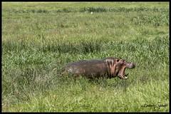 Hippo charging elephant (SpacePaparazzi.com) Tags: tanzania africa southeastafrica safari ngorongorocrater hippo